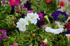 Het kleurrijke bloembed van de petuniabloem Stock Afbeeldingen