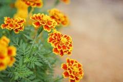 Het kleurrijke bloemen Franse goudsbloemen natuurlijke sier bloeien in tuin royalty-vrije stock afbeeldingen