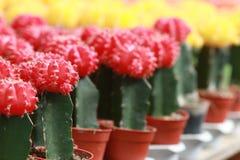 Het kleurrijke cactus groeien in potten Royalty-vrije Stock Afbeeldingen