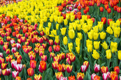 Het kleurrijke de gebieden van de tulpenbloem bloeien Stock Afbeeldingen