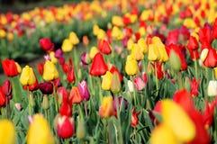 Het kleurrijke gebied van de Tulp Stock Foto