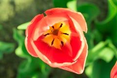 Het kleurrijke hoofd van scharlaken tulpenclose-up met defocused groene bedelaars stock afbeeldingen