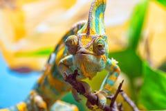 Het kleurrijke Kameleon Stock Foto's