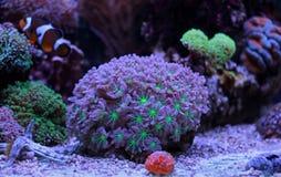 Het kleurrijke koraal van Acropora SPS in de tank van het ertsaderaquarium Royalty-vrije Stock Afbeelding