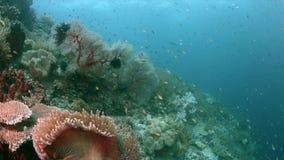 Het kleurrijke koraalrif 4k van Raja Ampat Indonesia stock footage