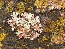 Het kleurrijke korstmos groeien op oud hout Royalty-vrije Stock Foto's