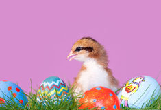 Het kleurrijke kuiken van Pasen met eieren in gras Stock Afbeelding