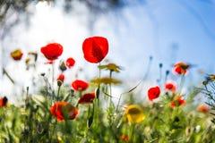 Het kleurrijke rode en gele gezoem van het bloemengebied binnen Royalty-vrije Stock Foto