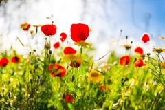 Het kleurrijke rode en gele gezoem van het bloemengebied binnen Stock Foto's