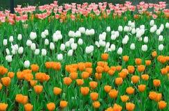 Het kleurrijke Romantische Bloeien Tulip Garden Background Stock Afbeelding