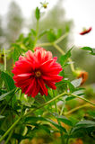Het kleurrijke rood van de dahliabloem in de herfsttuin Stock Afbeelding