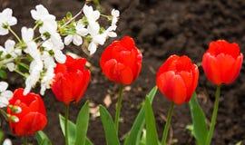 Het kleurrijke tulpen tot bloei komen Stock Foto's