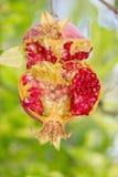 Het kleurrijke uitbarsting-open Pomengranate-hangen van zijn boomtak in Kakopetria, Cyprus Stock Fotografie