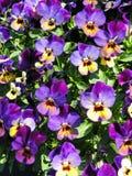 Het kleurrijke viooltje bloeit patroon Royalty-vrije Stock Afbeelding