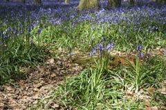 Het klokjehout van de lente Stock Fotografie