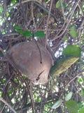 Het klokkengelui van de schildpadwind in verwarde wijnstok van jasmijn stock afbeelding