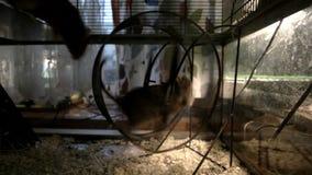 Het knaagdier die in het wiel lopen Dan verbindt het tweede knaagdier hem en zij die samen lopen stock footage
