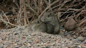 Het knaagdierfamilie van atlasgundi buiten het nest in Argentinië stock videobeelden
