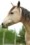 Het knagen aan van het paard op gras en paardebloemen Stock Fotografie
