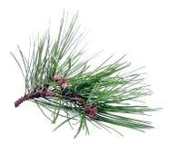 Het Knipsel van de pijnboom Stock Fotografie