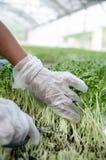 Het knipsel van het de spruitlandbouwbedrijf van de zonbloem Stock Fotografie