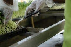 Het knipsel van het de spruitlandbouwbedrijf van de zonbloem Royalty-vrije Stock Foto