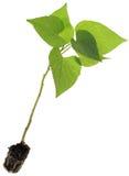 Het Knipsel van ipomoea batatas Royalty-vrije Stock Afbeeldingen