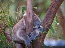 Het koala'sleven is zo hard stock afbeelding