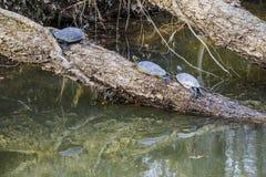 Het koelen Schildpadden Stock Afbeeldingen