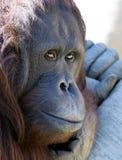 Het koelen van de orangoetan of van de aap in de zon die ongelukkig kijkt royalty-vrije stock foto's