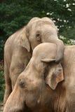 Het koesteren van olifanten Stock Afbeelding