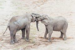 Het koesteren van olifanten Stock Foto