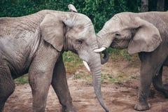 Het koesteren van olifanten Royalty-vrije Stock Foto's