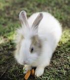 Het konijn die van het katoenstaartkonijnkonijntje gras in de tuin eten Stock Foto