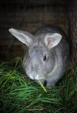 Het konijn eet gras Stock Foto's