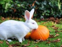 Het konijn en de pompoenen van de albino Stock Foto's