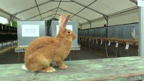 Het konijn significant ras van Bourgognebourgondië, tentoonstelling Tsjech stock video