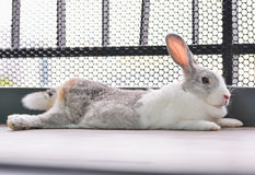 Het konijn slaapt Royalty-vrije Stock Fotografie