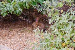 Het konijn van de woestijnhefboom Stock Foto