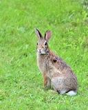 Het Konijn van het katoenstaartkonijn Royalty-vrije Stock Foto