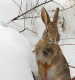 Het konijn van het katoenstaartkonijn Stock Afbeeldingen