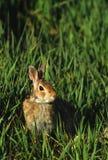 Het Konijn van het katoenstaartkonijn in Gras Stock Afbeeldingen