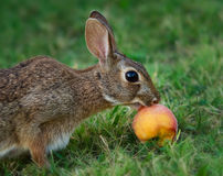 Het konijn van het katoenstaartkonijn het eten Stock Foto