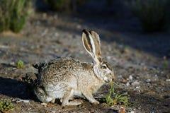 Het Konijn van het Katoenstaartkonijn van de woestijn, audubonii Sylvilagus Stock Afbeelding