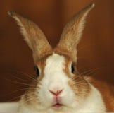 Het Konijn van het konijntje Royalty-vrije Stock Afbeeldingen