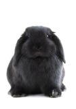 Het konijn van het konijntje Stock Afbeelding