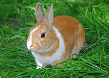 Het konijn van het konijntje royalty-vrije stock fotografie