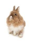 Het konijn van Lionhead. Stock Foto