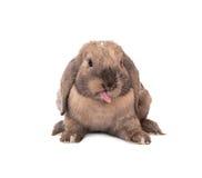 Het konijn zet uit zijn tong. Stock Foto