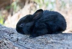 Het konijntjeskonijn die van het katoenstaartkonijn gras eten Stock Afbeelding